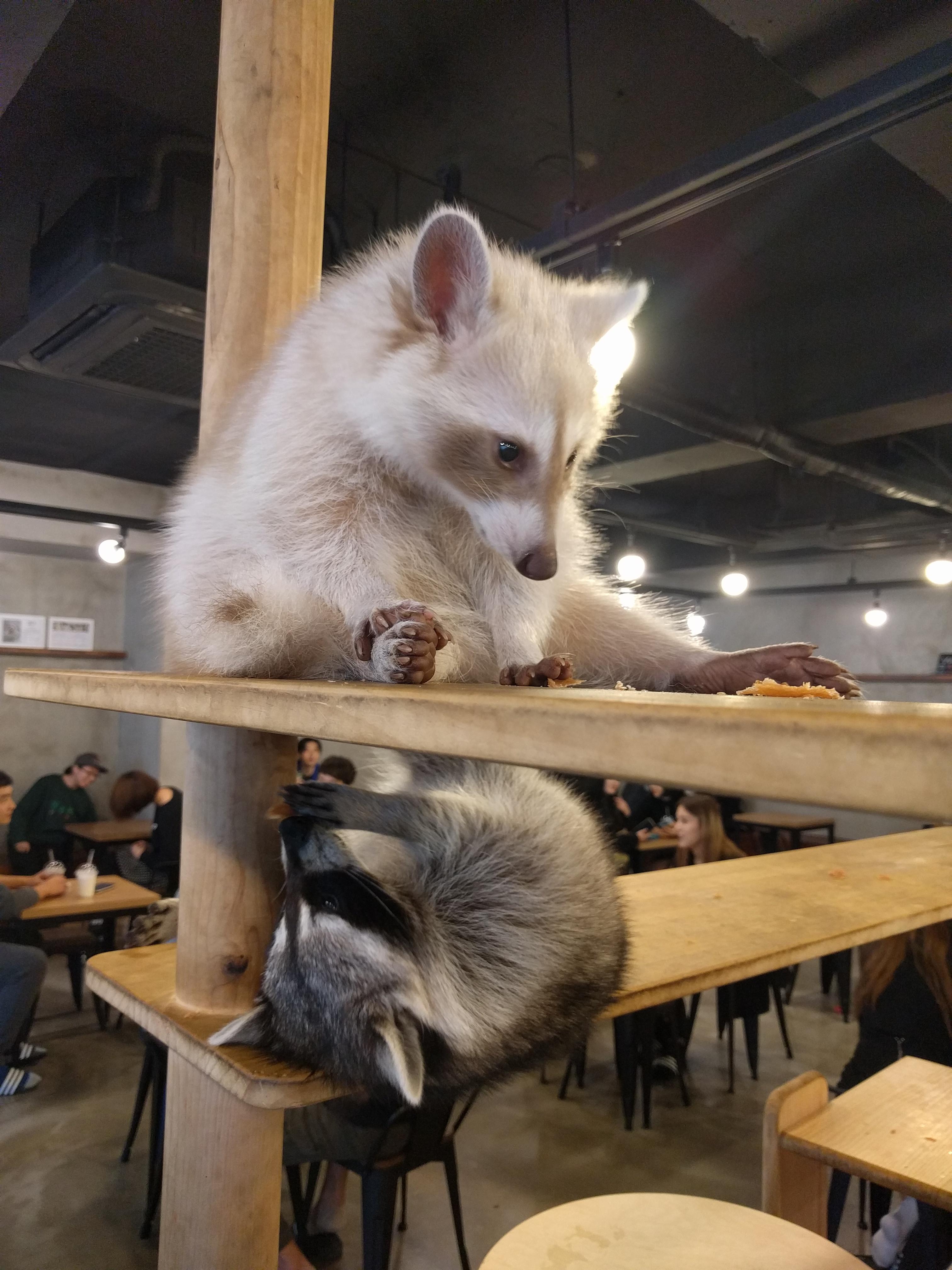 맹쿤 Raccoon Cafe Meanwhile In Korea